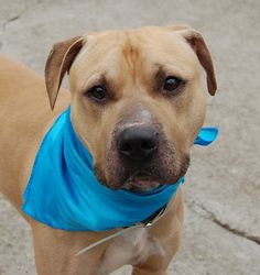 TO BE DESTROYED - 02/18/15 Brooklyn Center -P My name is RANDY. My Animal ID # is A1027379. I am a male tan and white american staff mix. The shelter thinks I am about 4 YEARS old. I came in the shelter as a OWNER SUR on 02/07/2015 from NY 11368, owner surrender reason stated was MOVE2PRIVA. https://www.facebook.com/photo.php?fbid=962598067086406 https://www.facebook.com/Urgentdeathrowdogs/photos/a.611290788883804.1073741851.152876678058553/962598067086406/?type=3&theater
