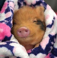 Cute sleepy piggy – So Cute Animals Cute Baby Pigs, Cute Piglets, Cute Little Animals, Cute Funny Animals, Pet Pigs, Teacup Pigs, Love Pet, My Animal, Animals And Pets