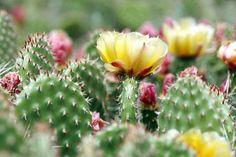 La beauté d'un figuier de barbarie en fleur #figuedebarbarie #fleurs #cactus #nopal