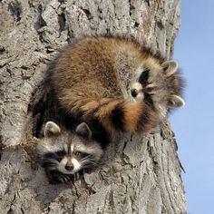 Ok - I will keep watch while you sleep Art Print by Doris Potter. All prints are professionally printed, packaged, and shipped within 3 - 4 business days. Raccoon Family, Cute Raccoon, Racoon, Animals And Pets, Baby Animals, Cute Animals, Forest And Wildlife, Little Critter, Baby Puppies