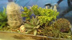 Our cafe cacti! Cacti, Laughing, Plants, Cactus Plants, Plant, Planets