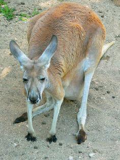 Zoo de Beauval - Kangourous 05