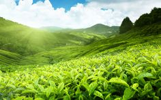 Fields of Tea HD Wallpapers: Find best latest Fields of Tea HD Wallpapers in HD for your PC desktop background & mobile phones.