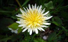 Taraxacum albidum ~ white-flowering Japanese dandelion