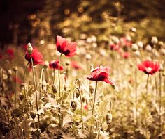 """I would like to have a picnic in a field of poppies. I called my grandfather """"Poppy"""" and there's the incredible poppy field in one of my favorite movies, the Wizard of Oz. Pictures Of Poppy Flowers, Love Flowers, Color Swatches, Wizard Of Oz, Pretty Pictures, Flower Power, Poppies, Flora, The Incredibles"""