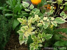 Tomato (variegated seedling from 'Spoon')