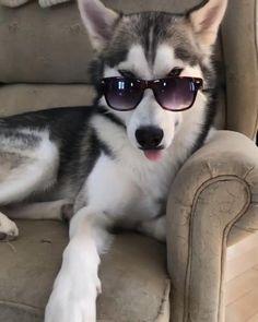 #dog #husky #cutedog #cuteanimal #dogvideo #animalvideo Cute Baby Dogs, Cute Funny Dogs, Cute Funny Animals, Cute Baby Animals, Husky Dog Names, Cute Husky Puppies, Lab Puppies, Huskies Puppies, Akita Puppies