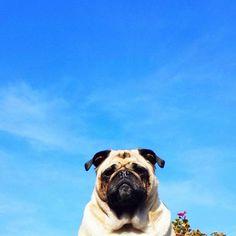 A pug in the sunshine!