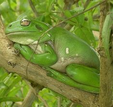 Dumpy Tree Frog - What a face!