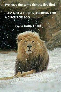 Wir haben das gleiche Recht auf ein Leben wie ihr Menschen! Ich bin #keineTrophäe oder eine Zirkusattraktion oder möchte in einem winzigen Zoo leben! ICH BIN FREI GEBOREN UND MÖCHTE FREI LEBEN!!! I was born free!!