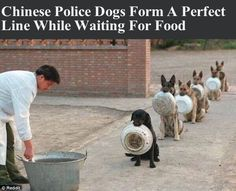 Chinese Police Dogs Form A Perfect Line While Waiting For Food cute animals dogs adorable dog puppy animal pets police