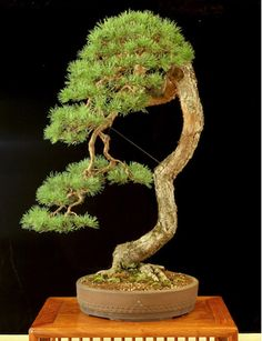 Scots pine. Field-grown in Maine by Colin Lewis - a well known bonsai artist and teacher, and a fellow transplanted northern New Englander