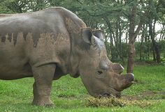 WORLD RHINO DAY. this is the LAST MALE WHITE RHINO IN THE WORLD.