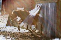 Väitös: Hevosten kylmäpihattokasvatus voi edistää tai heikentää hevosten hyvinvointia : ELÄINTEN HYVINVOINTIKESKUS
