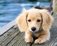 35 Best Hotdog Dogs Puggle Wuggles 3 Images Fluffy Animals