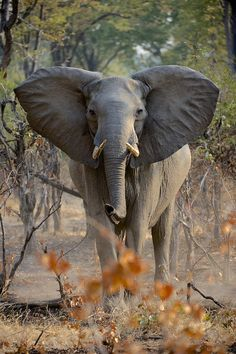 Female African Elephant near the South Luangwa NP. Photo by Stefan Rosengarten. Elephant Love, Elephant Art, African Elephant, African Animals, Elephant Stuff, African Safari, All About Elephants, Elephants Never Forget, Save The Elephants
