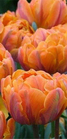 Orange peony-flowering tulips  Cindy, I thought of u when I saw this....