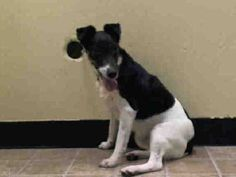 TERRY - ID#A1004794  I am an unaltered female, white and black Fox Terrier - Smooth mix.  The shelter staff think I am about 4 years old...