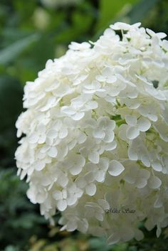 annabelle hydrangea white mophead variety soil acidity doesnu0027t change color - White Hydrangea
