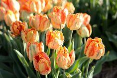 Papouškovité tulipány jsme objevili nedávno a úplně jsme si je na první pohled zamilovali! Kroucené listy dodávají kyticím i záhonům novou texturu. Nejkrásněji působí i při odkvětu, kdy dorůstají velikosti dlaně. Stačí jich opravdu malinko a vytvoří nádherná efekt. Tulipán Professor Röntgen se světle oranžovým středem a sytě oranžovými konci okvětních plátků se zeleným žilkováním. Professor, Garden Ideas, Plants, Teacher, Landscaping Ideas, Plant, Backyard Ideas, Planets