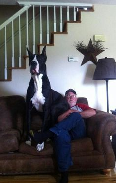 I want my own great dane so he can attempt to sit on my lap