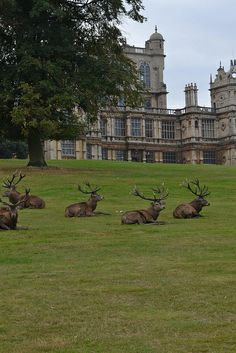 Red Deer relax in the Park. Wollaton Park is a deer park and home of Wollaton Hall, Nottingham Natural History Museum and Nottingham Industrial Museum in the heart of Nottingham. The enclosure of Wollaton Park required the destruction of the village of Sutton Passeys. It was enclosed by Henry Willoughby, 6th Baron Middleton between 1800/1835 with a red brick wall at the start of the nineteenth century. The park is home to a herd of Red Deer and Fallow Deer