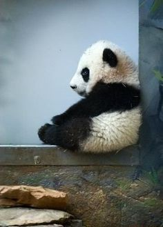 SWEET Panda. My heart is smiling... this picture is beyond precious. (KO) Is this baby sitting there contemplating the mysteries of the universe or just sitting there thinking of nothing in particular? I'm going with nothing in particular. His little butt is so chubby! Cute.