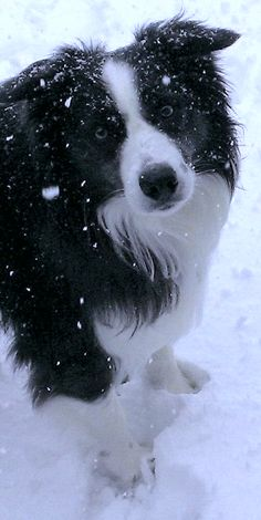 My Cullie boy begging to stay out in the snow...