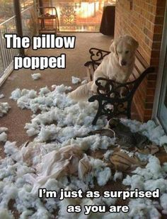 Hilarious!   Dog broke pillow!