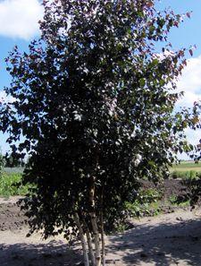 Royal frost crimson birch tree