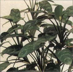 japanese evergreen houseplant - Google Search