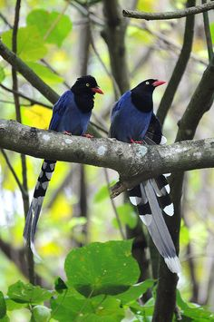 Formosan Blue Magpies