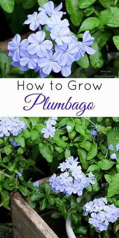 all about plumbago care! Plumbago is one of the stars of the summer garden and a great plant for the beginner gardener (they are SUPER EASY to grow). A perennial down South, an annual up North, this easy to grow flower is always a winner in the garden! Garden Pests, Herb Garden, Box Garden, Garden Cottage, Gardening For Beginners, Gardening Tips, Organic Gardening, Vegetable Gardening, Growing Flowers