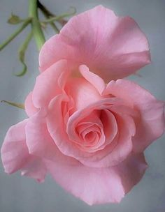 Captivating Why Rose Gardening Is So Addictive Ideas. Stupefying Why Rose Gardening Is So Addictive Ideas. Beautiful Rose Flowers, Love Rose, Flowers Nature, Exotic Flowers, Amazing Flowers, Pink Flowers, Beautiful Flowers, Fresh Flowers, Ronsard Rose
