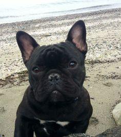 French Bulldog at the beach.