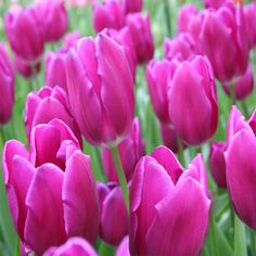 Tulips are Nature's way of ushering in Spring, so why not get a lot of tulips to welcome the best season of the year? The Purple Flag Triumph Tulip is a bold purple flower with vibrant green stems. Coming 100 bulbs per bag, It will do...