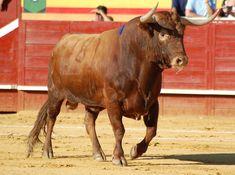 El Toro, Pelos Y Pintas · Club Taurino De Murcia | Club Taurino De ...