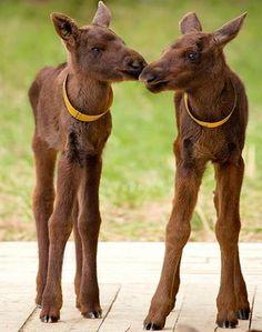 Very Cute Baby Mooses!