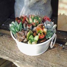 こんな風に、小さい子たちを一緒に寄せ植えしてあげてもかわいいですね!