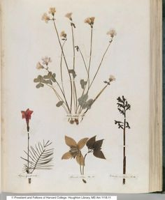 A page from Emily Dickinson's herbarium, or homemade book of pressed plant specimens. Assembled when Dickinson was a 14-year-old student at Amherst Academy, the book holds 65 pages of plants—400 total. Dickinson's affection for collecting & identifying plants was one that many young girls and women of her time would have shared. She became a lifelong gardener & often included dried flowers in her correspondence. Houghton Library, Harvard University. #naturalist