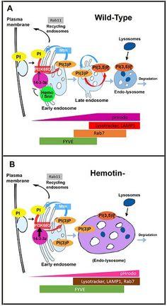 Hemotin, a novel conserved regulator of phagocytosis