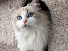 Ragdoll Cat - Blue Bi-color female http://springvaledolls.com/