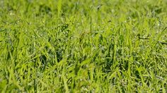 (C) Celia Ascenso - Wind Blowing On Grass.
