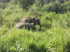 Wild elephants in Habarana