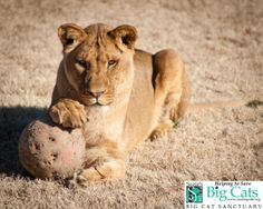 Please join us in wishing Jazz a Happy 5th Birthday today!!   Our youngest lioness, Jazz is a former photo cub who has touched many lives since she arrived at Suzie's Pride. She is very sweet, affectionate, and is very playful!   You can see Jazz and the rest of our resident big cats at our Big Cats Behind the Scenes event tomorrow from 4-6pm.  www.suziespride.org