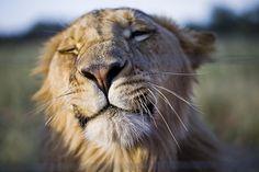 Mwuah! En dikke leeuwenkus voor al onze SPOTS Pinterest volgers. Zien we jullie zaterdag 3 oktober in Amsterdam voor de Global March for Elephants, Rhinos & Lions? https://www.facebook.com/events/1648403088712704/ (Foto: Lars Østreim)