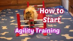 How to combine multiple obstacles and teach your guinea pig to run agility courses. Pet Guinea Pigs, Guinea Pig Care, All About Animals, Small Animals, Pig Pics, Den Den, Skinny Pig, Pig Ideas, Emotional Support Animal