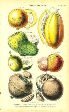 Mammee, Pawpaw, Soursop, Negro Peach, Granadilla, Brazil Nut:   Genuine antique print of Tropical Fruit from Vegetable Kingdom by William Rhind