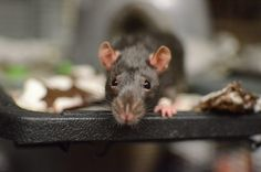 Nearly 70 Rats and Mice Rescued from Arlington Hoarding Case Now Eligible for Adoption Animal Welfare League, Upper Respiratory Infection, Animal Control, Pet Store, Mice, Rats, Adoption, Animals, Computer Mouse