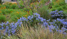 Ceanothus 'Joyce Coulter', Festuca californica, Cercis occidentalis, Leymus condensatus 'Canyon Prince'